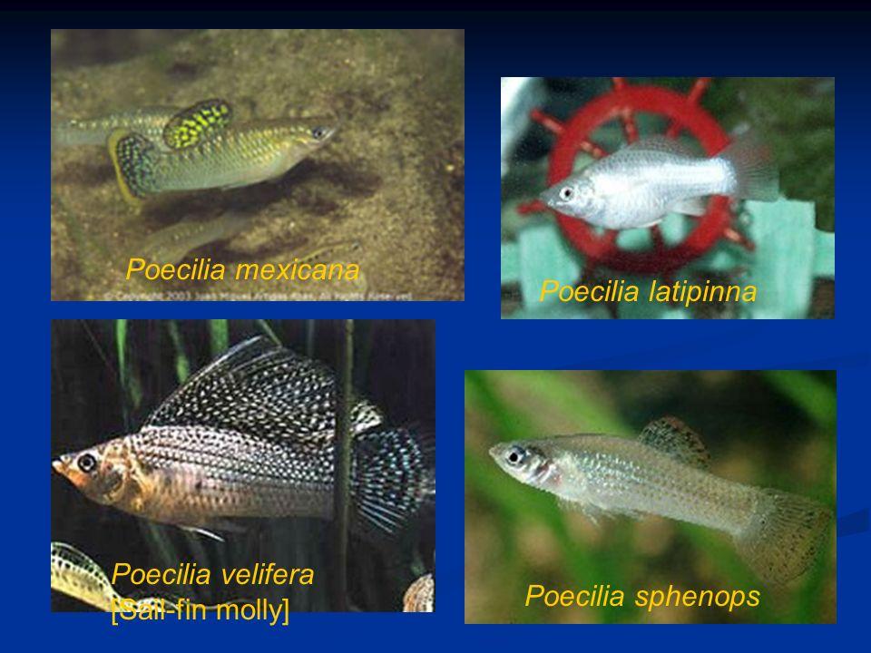 Poecilia mexicana Poecilia latipinna Poecilia velifera [Sail-fin molly] Poecilia sphenops